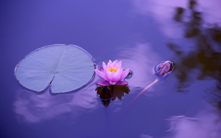 lily pad on purple pond